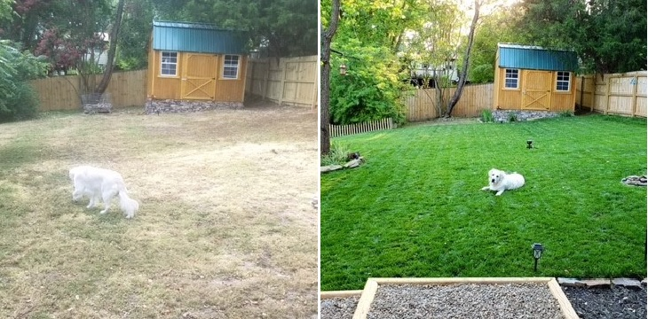 before and after top dressing lawn with compost